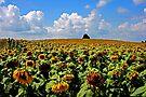 Sunflower Fields in Michigan by John Carpenter