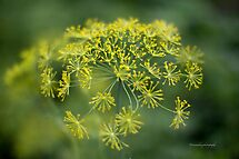 Dill Flower Lace (Anethum graveolens) by Yannik Hay