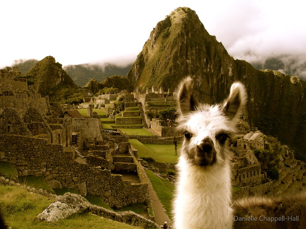 Quot Baby Alpaca At Machu Picchu Quot By Danielle Chappell Hall