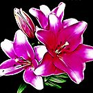 Pink Lily ......Say's  Hello! by Lyndy