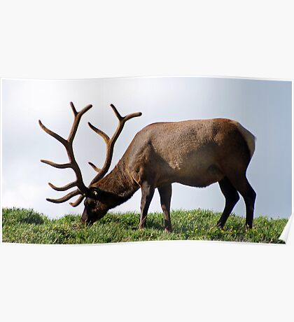 Grazing in the Tundra Poster