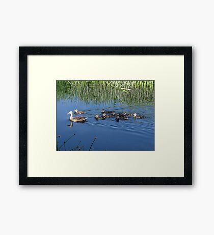 Mallard Hen with Ducklings Framed Print