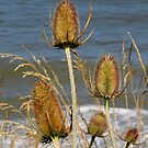 Teasels and Surf by Carol Bleasdale