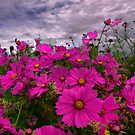 Did Someone Say Cosmos by Charles & Patricia   Harkins ~ Picture Oregon