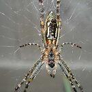St Andrew's Cross Spider - Mentone, Victoria by gen1977