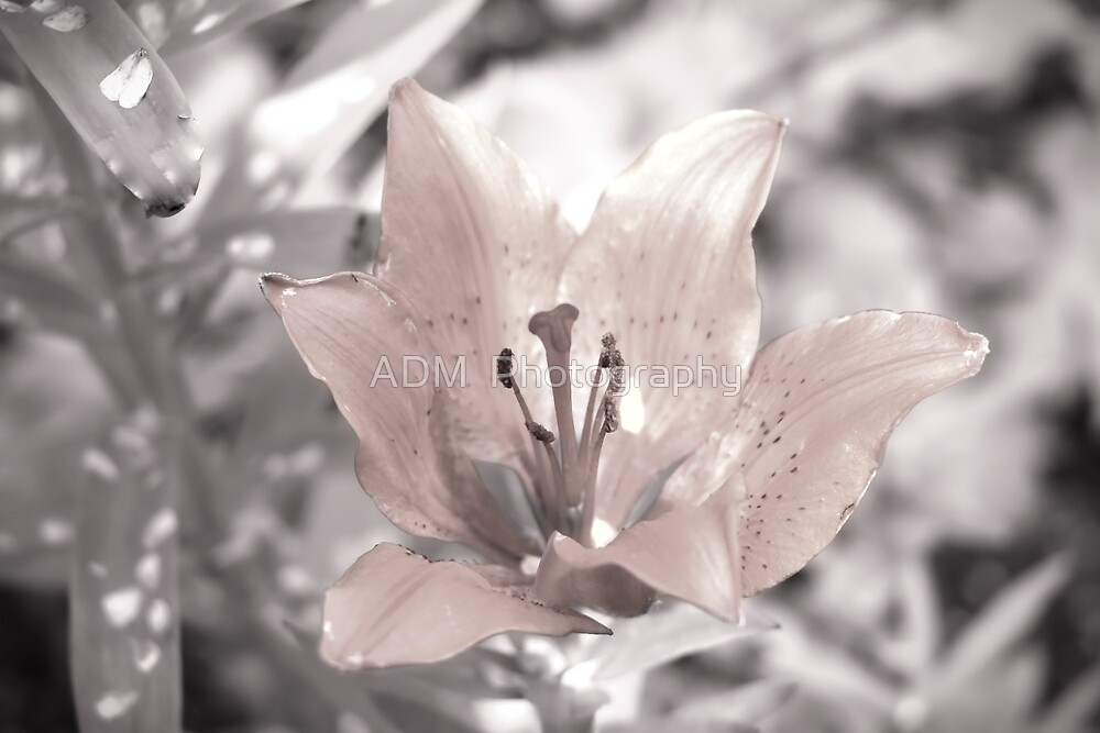 Asiatic Lily by Amber D Hathaway Photography