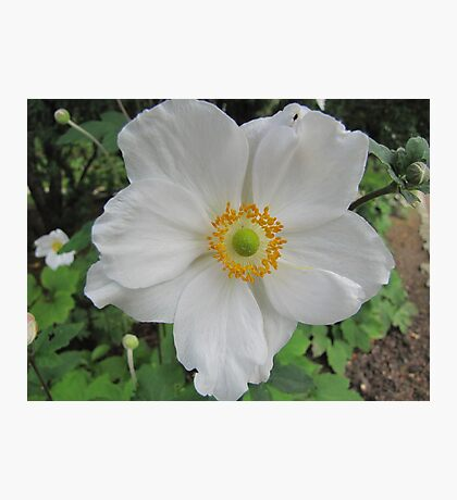 Anemone in white Photographic Print