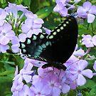 Black Butterfly on Purple Posies by teresa731
