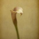 Cala lily by lorrainem