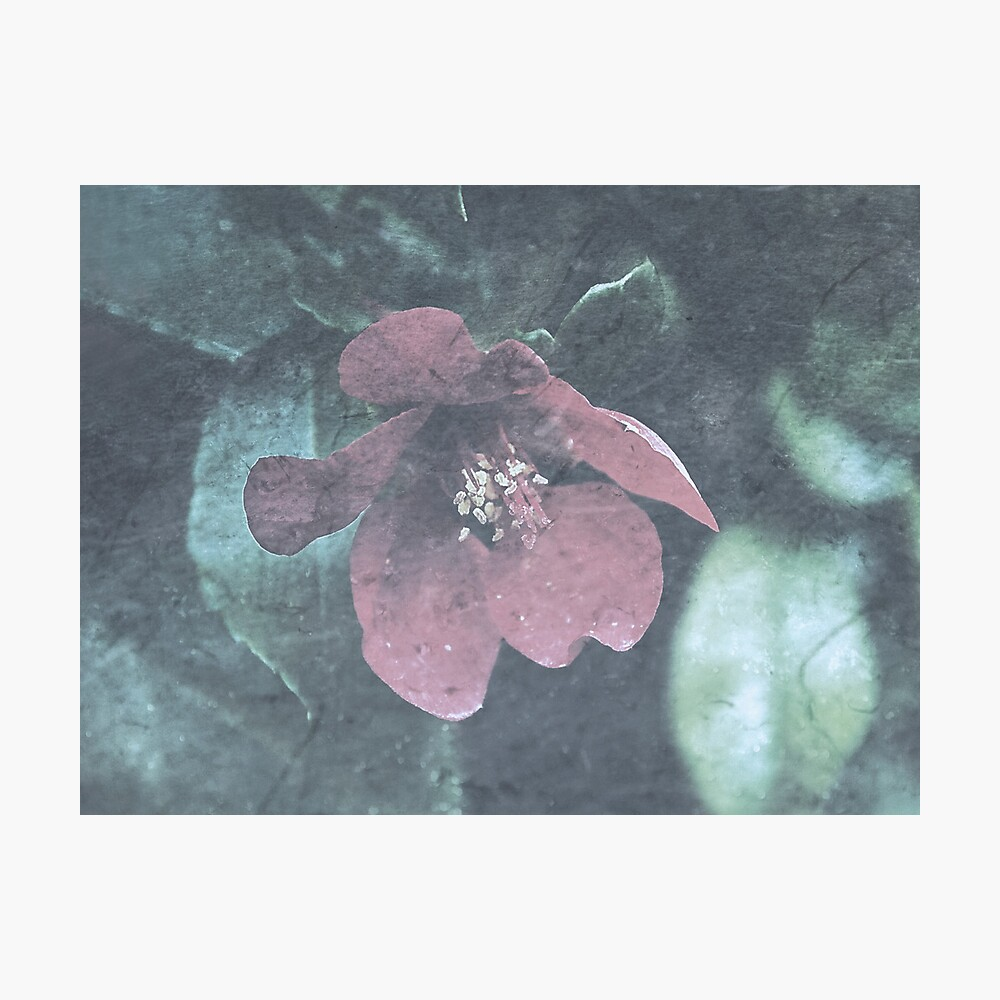 Icy Quince  Photographic Print