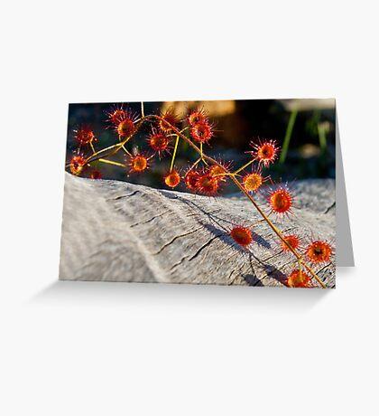 Wandering Sundew Greeting Card