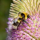 The teasel pollen bar is open by Sandra O'Connor