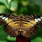 Butterfly by JasminsPhotos