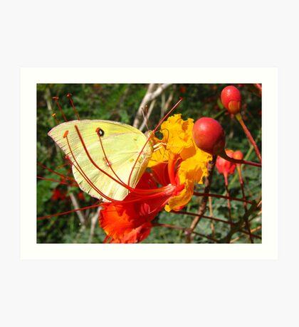 Butterfly~ Southern Dogface on Bird of Paradise Art Print