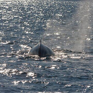 Humpback Whale 8147 by DavidJ