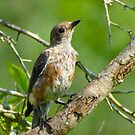 Juvenile Eastern Bluebird by Caren