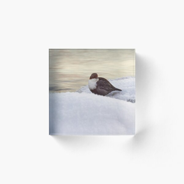 By the stream. White-throated dipper Acrylic Block
