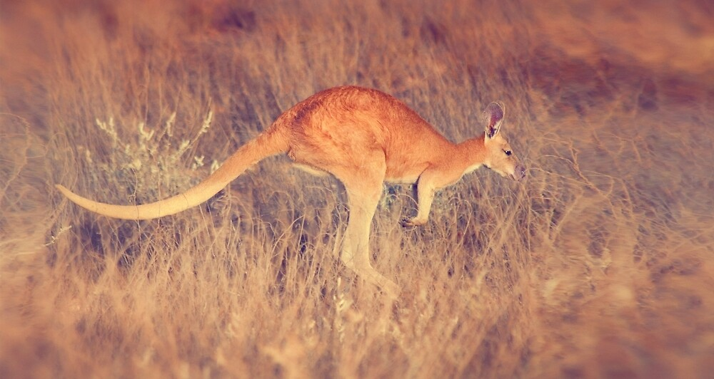 Red Kangaroo, Outback Western Australia by Marc Russo
