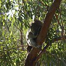 Sleeping Koala by Chris Samuel