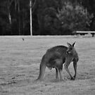 Eastern Grey Kangaroo (black and white) by Chris Samuel