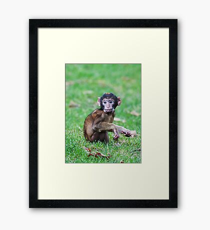Young Barbary Monkey Framed Print