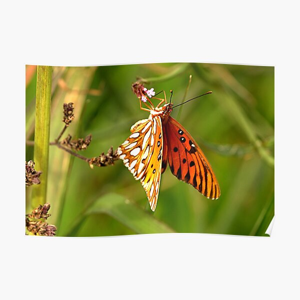 Winter Butterfly Poster