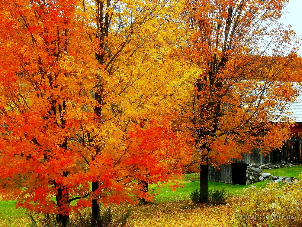 Autumn Trees By The Barn by Rodney Lee Williams