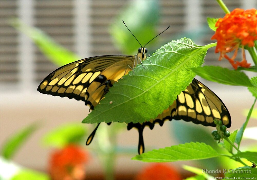 Under the Butterfly by Rhonda R Clements