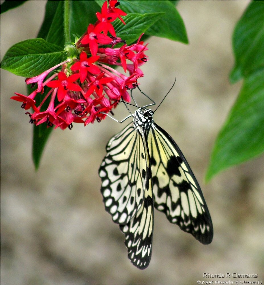 Butterfly Beauty by Rhonda R Clements
