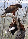 Harris's Hawks ~ Step down! by Kimberly Chadwick