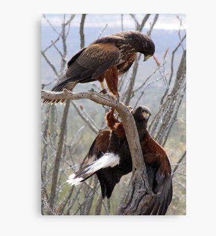 Harris's Hawks ~ Step down! Canvas Print