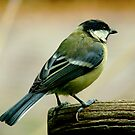 THE GREAT TIT (Parus major) by Johan  Nijenhuis