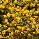 Don's Acacia by kalaryder
