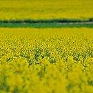 Canola by yolanda