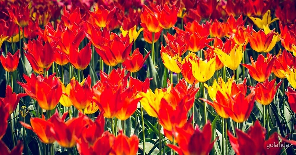 Fire Tulips by yolanda