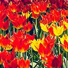 Fire Tulips by yolanda