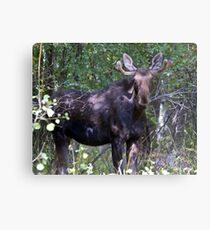 The young bull moose is back Canvas Print