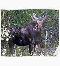 The young bull moose is back Poster