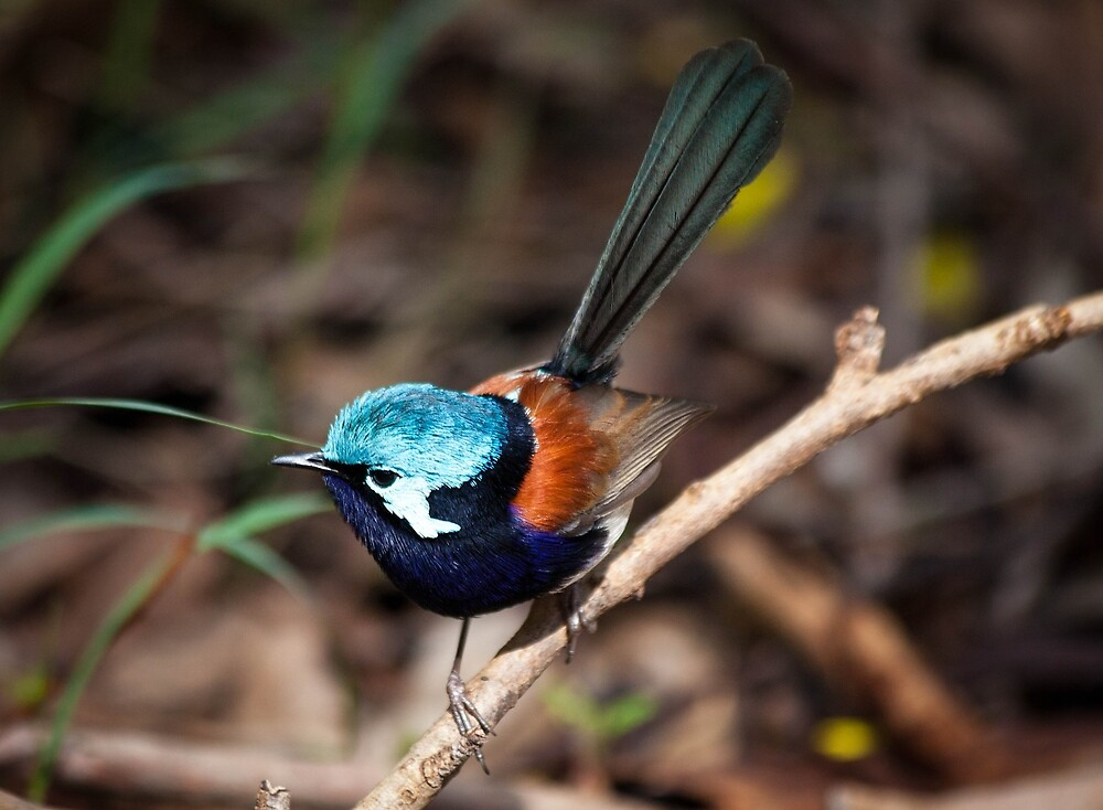 Red wing fairy Wren, Pemberton, Southwest Australia by Marc Russo