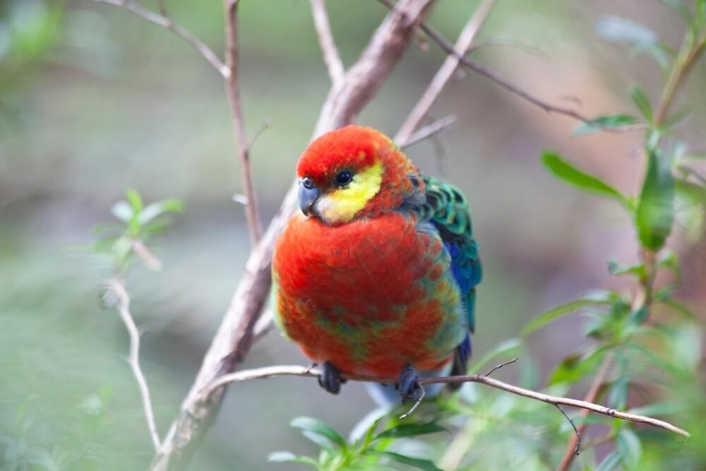 Western Rosella, Pemberton, Western Australia by Marc Russo