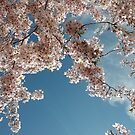 Cherry Blossom by elektrabakhshov