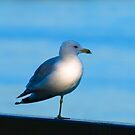 Why Does A Seagull Stand On One Leg ? by Barry W  King