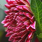 Dahlia Profile by Indrani Ghose