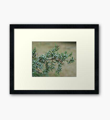 Junniper Berries Framed Print