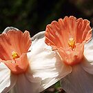 Pink Daffodils - Drouin by Bev Pascoe