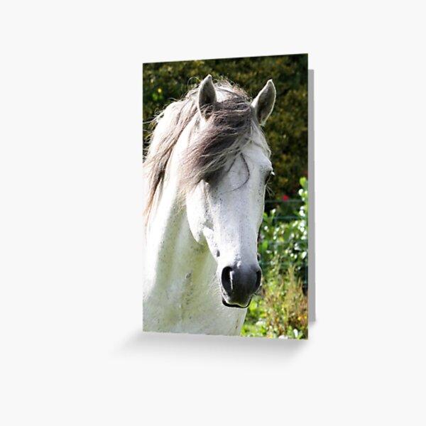 Connemara Pony Stallion Greeting Card