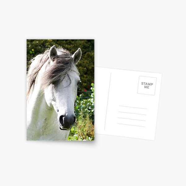Connemara Pony Stallion Postcard