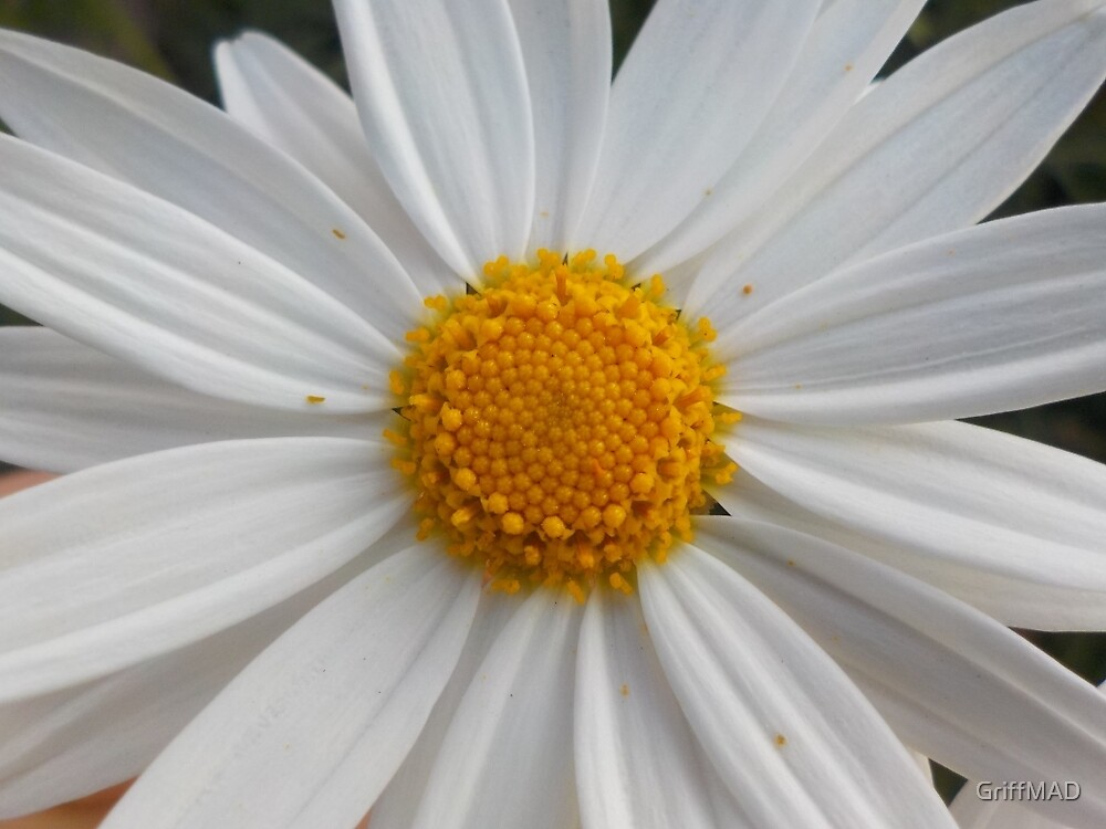 A White Daisy by GriffMAD