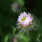 Aster by Leslie Guinan