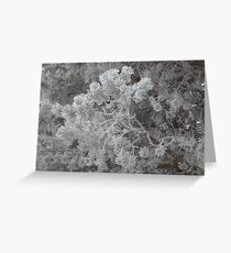 Hoarfrost on the Pines Greeting Card